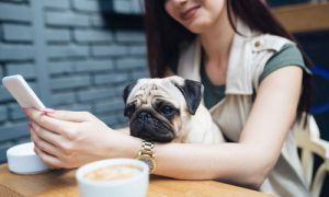 Adorable pug dog sitting in his owner's lap in cafe bar