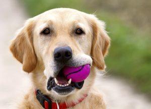 Golden retriever with purple ball