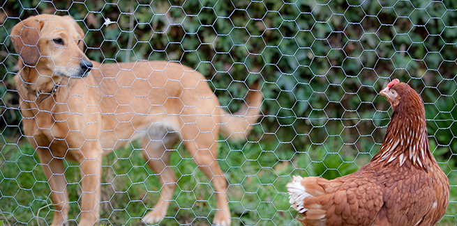 Curious dog staring a chicken through honeycomb fence