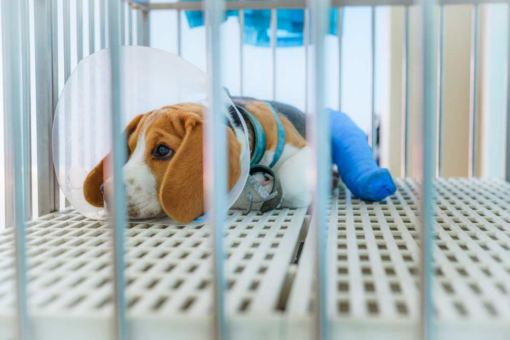 Close up of A beagle dog with splint to stabilize the left hind-limb sitting in the cage at the animal hospital/veterinary Clinic waiting for recovery from treatment.